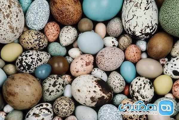 تخم پرندگان و خواص آنها از تخم مرغ تا تخم کبک