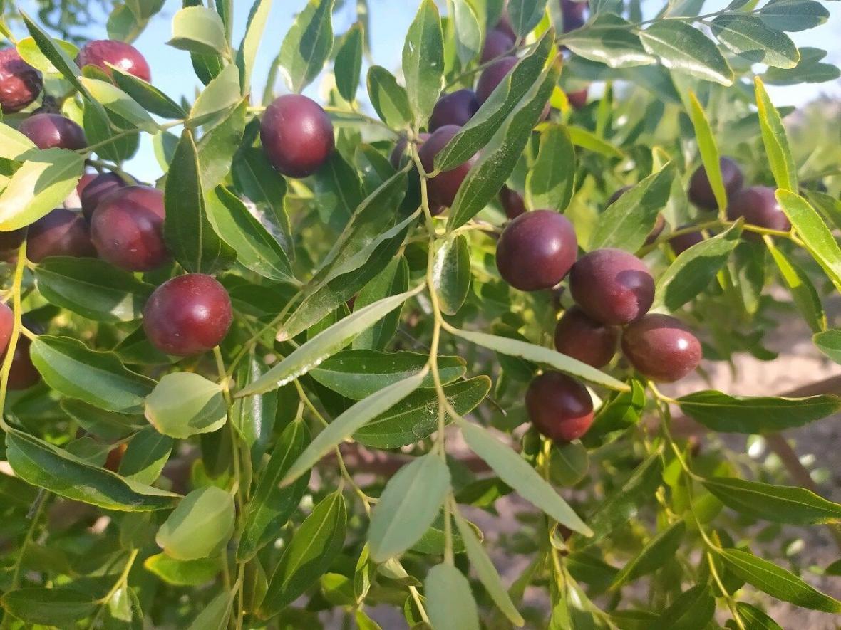 خبرنگاران تولید محصول عناب در خراسان جنوبی 30 درصد کاهش یافت