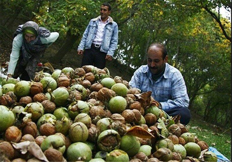 خبرنگاران هفت هزار و 500 تن محصول گردو در چهارمحال و بختیاری فراوری شد